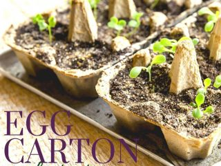 seedlings growing in egg cartons on a wooden table