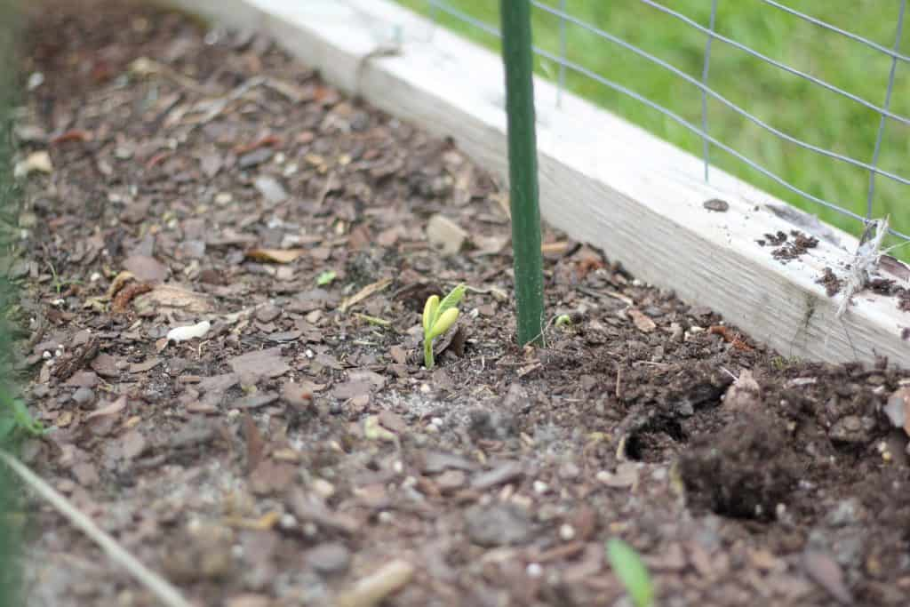 bean sprouting