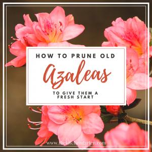 how to prune azaleas