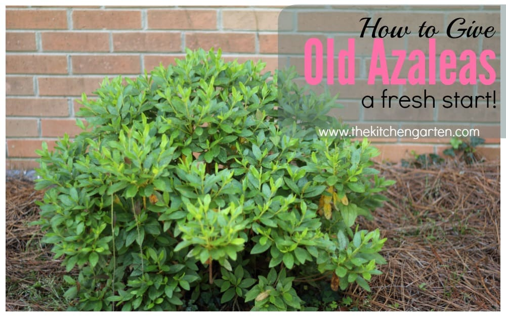 How To Prune Azaleas Give Old Plants New Life The Kitchen Garten