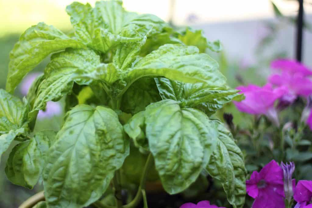 how to prune basil
