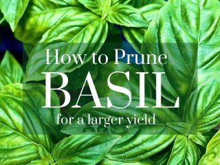 basil leaves up close on blue background