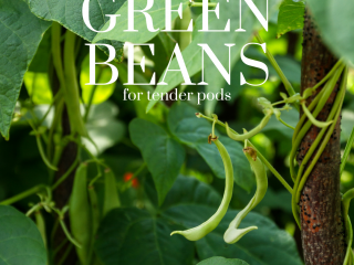 green beans hanging on a vine