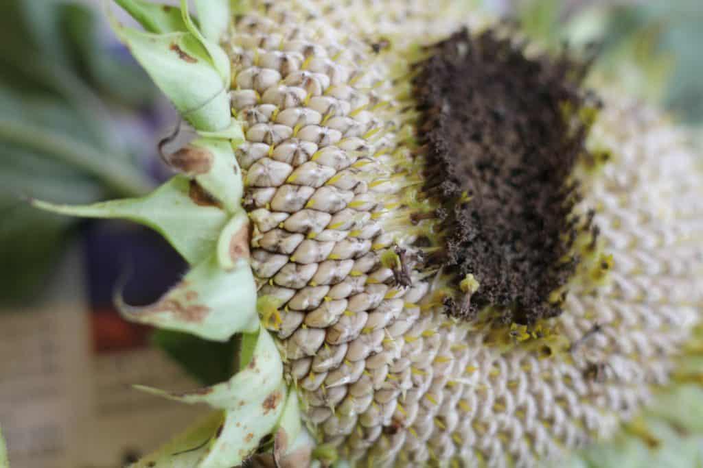 harvest sunflower seeds