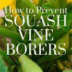 how to prevent squash vine borers