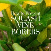 squash plant healthy