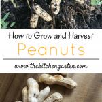 growing peanuts