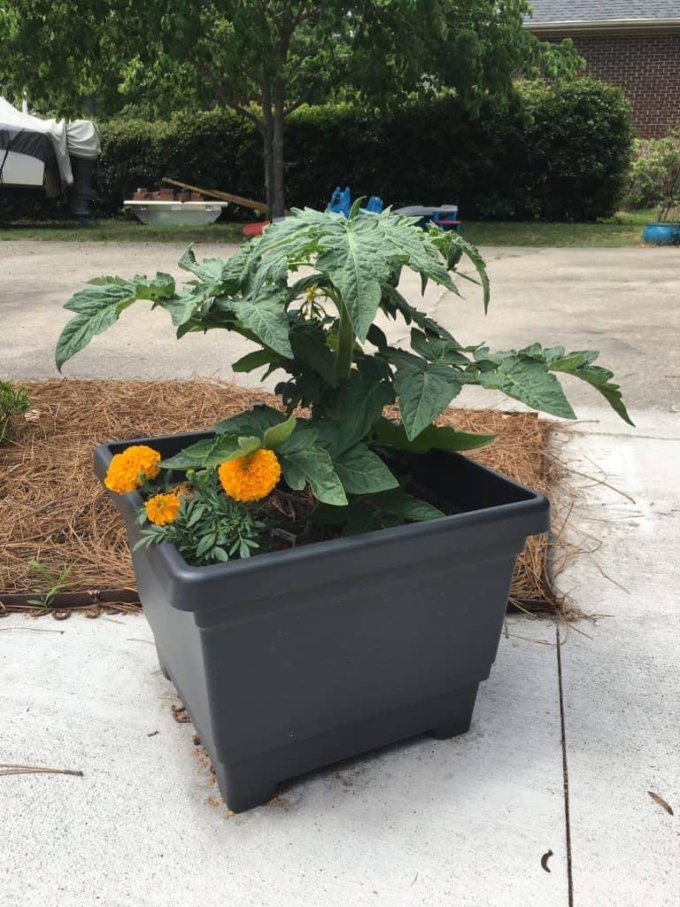 Ringelblumen und eine Tomate wachsen in einem Behälter