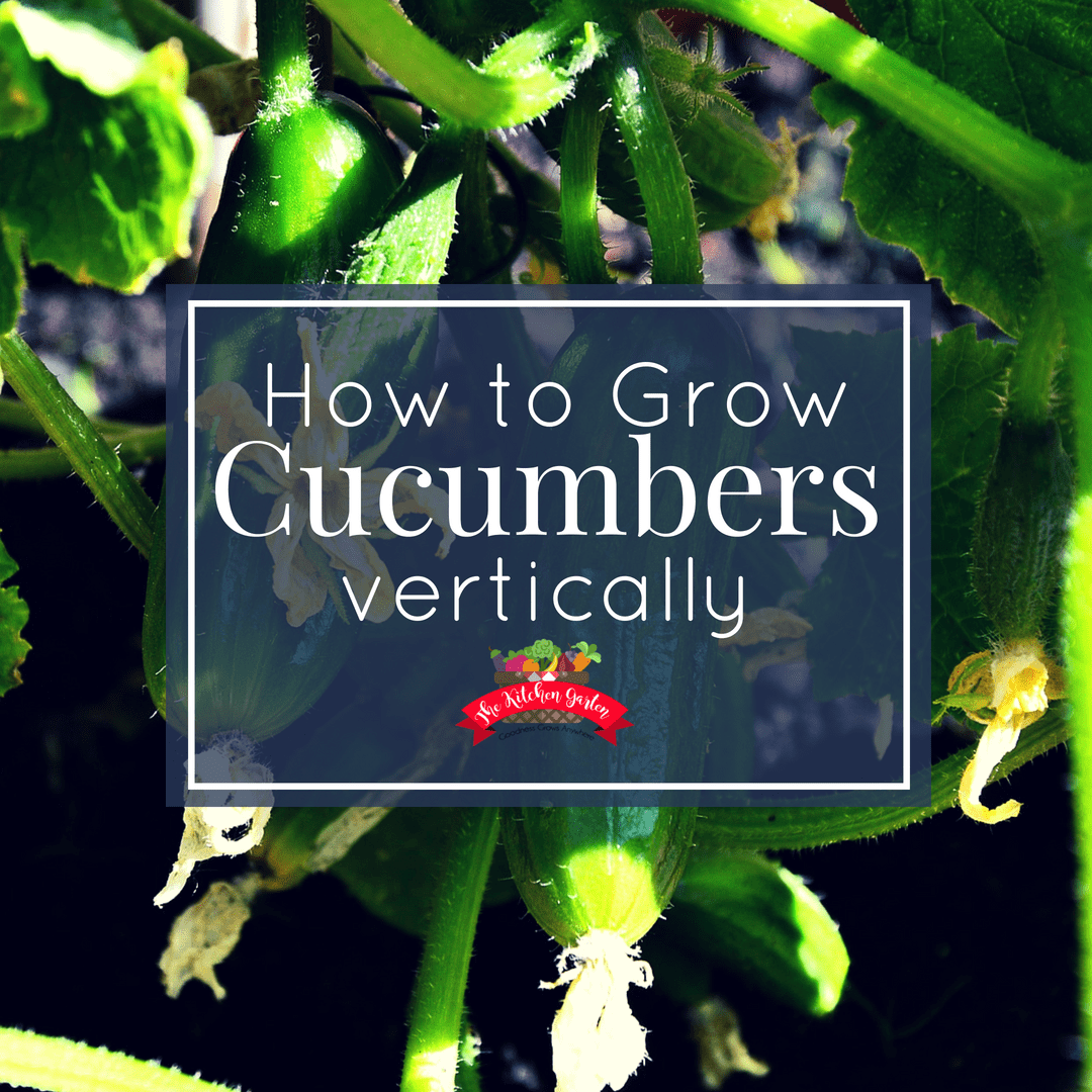 grow cucumbers vertically