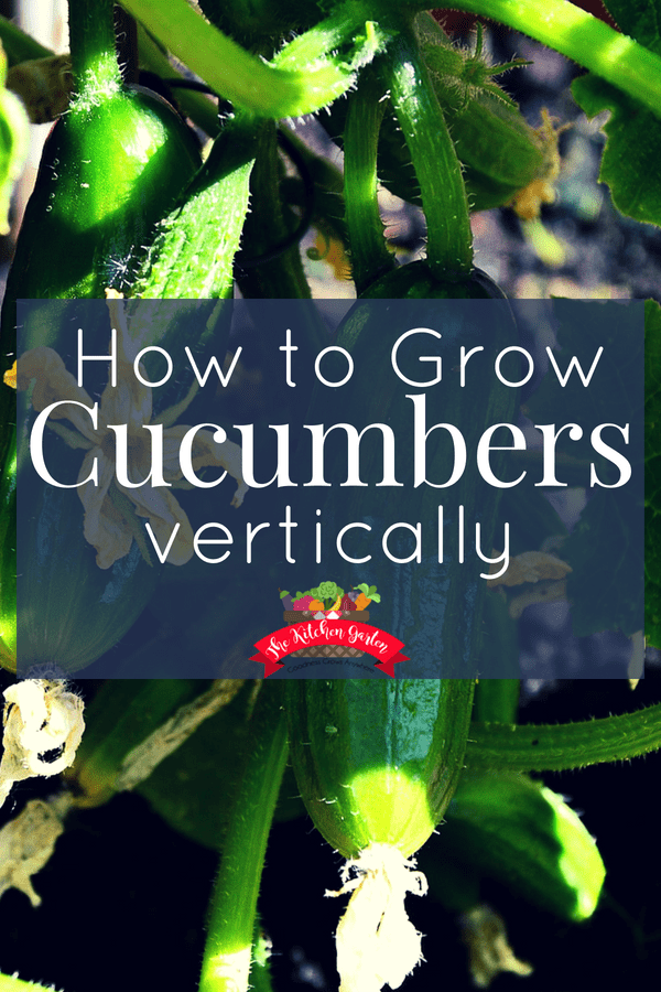 how to grow cucumbers vertically