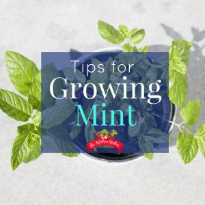 growing mint
