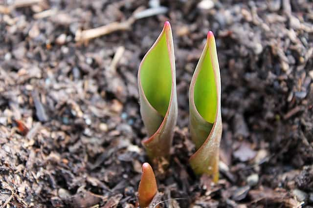 tips for planting bulbs