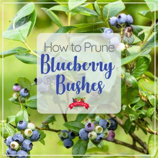 How to Prune Blueberry Bushes