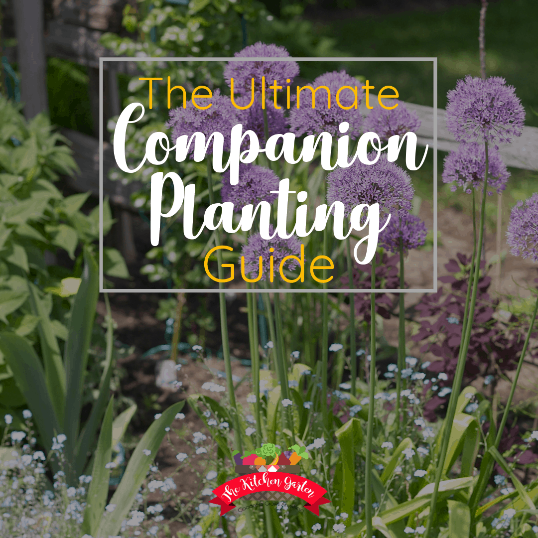 companion plants of chives and basil in the garden
