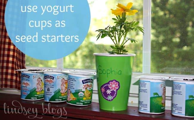 yogurt cups as seed starters sitting on a windowsill