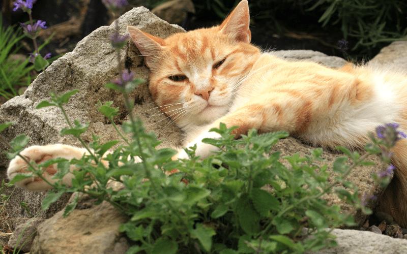 orange cat laying next to catnip plant