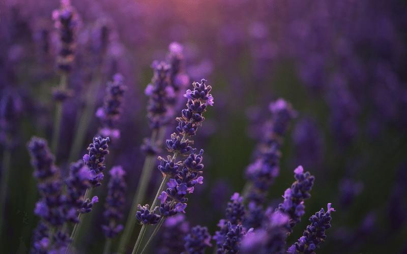 lavender plant in field