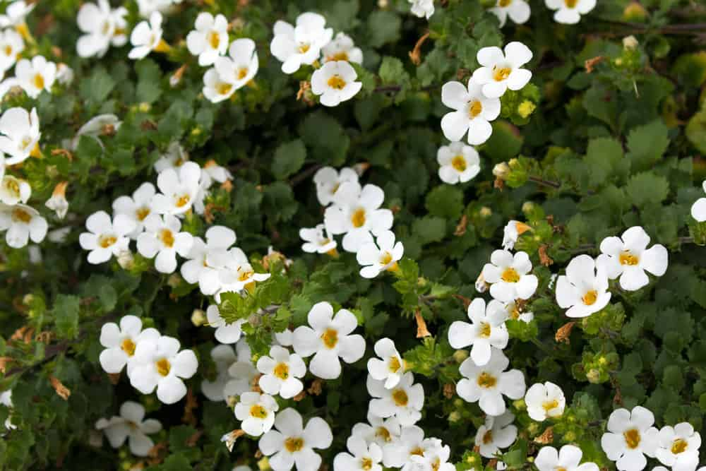 bacopa with white blooms and dark green leaves