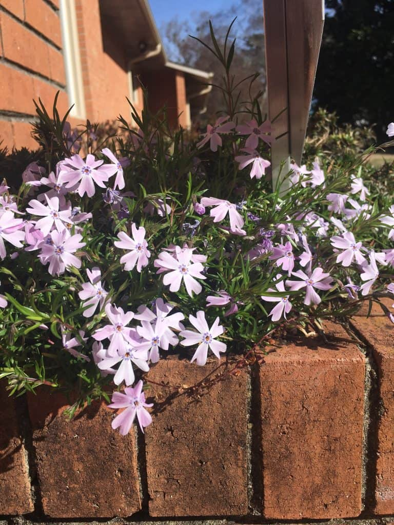 creeping phlox growing over brick