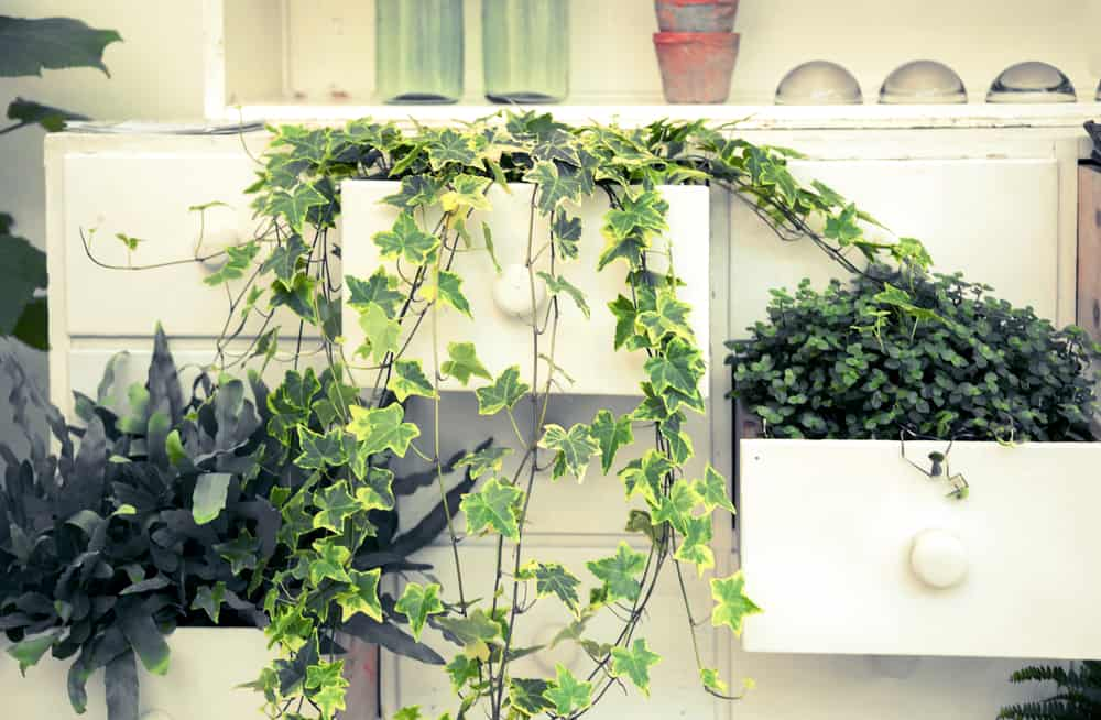 english ivy in a wooden white planter