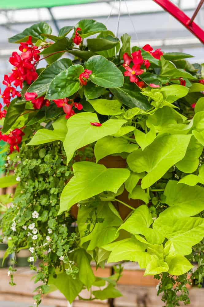 sweet potato vine and red blooms in a hanging basket