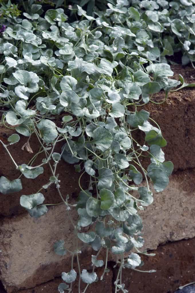 dichondra silver falls hanging down brick wall