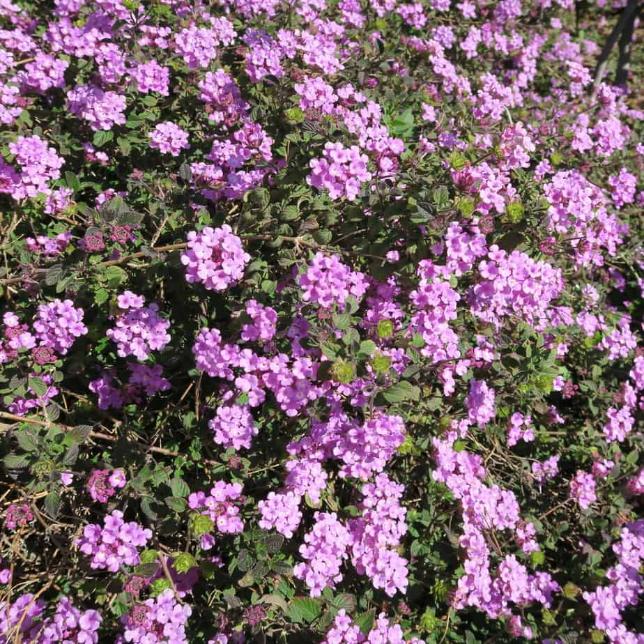 Verbena purple perennial flowers with many small flowers