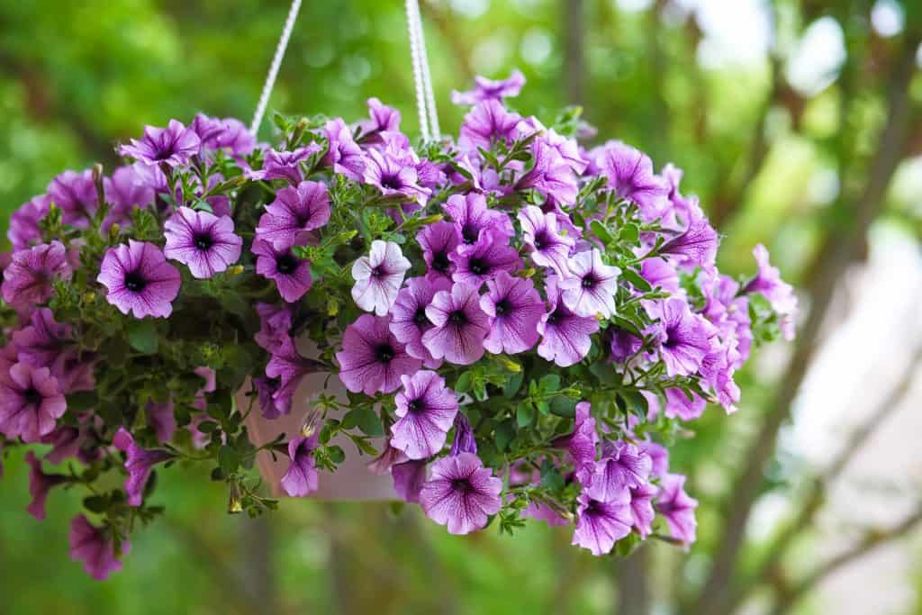 purple wave petunias in a hanging basket