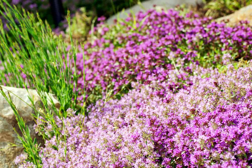 creeping thyme with bright purple blooms