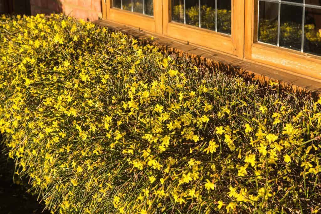 yellow blooms of winter jasmine in front of a window