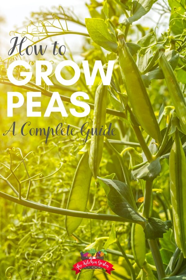 Pea pods growing on vines