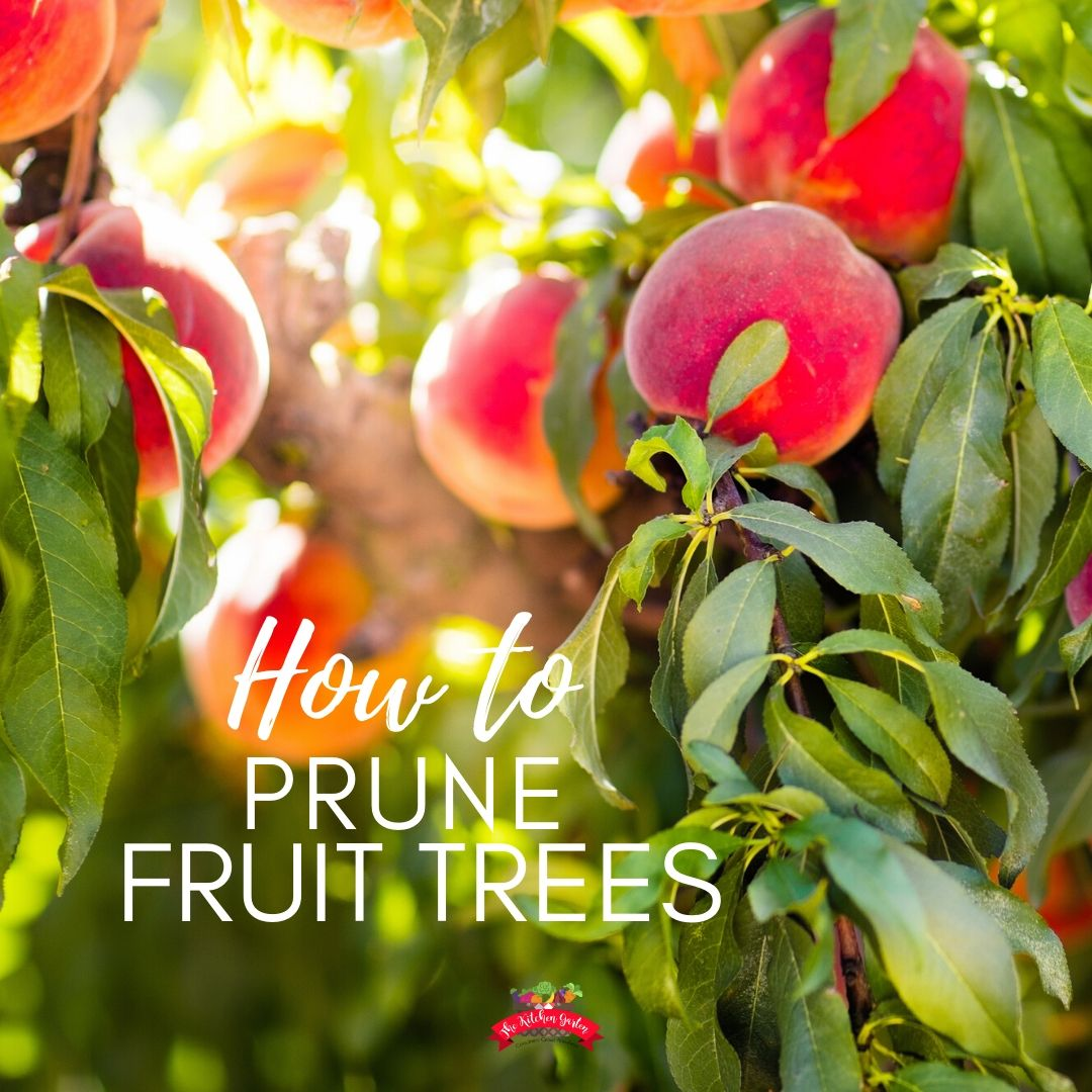 peach tree full of fruit with green leaves