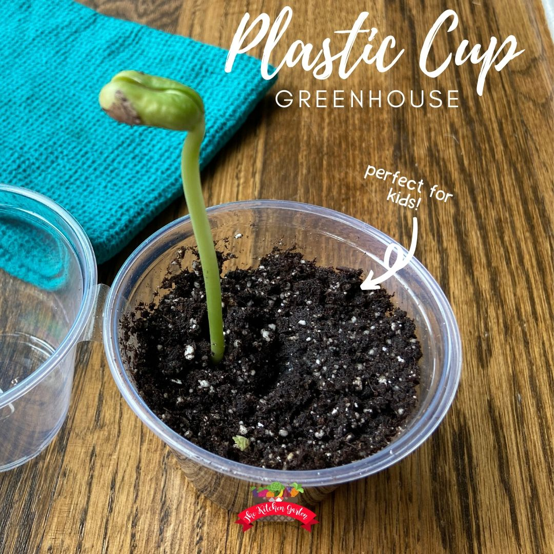plastic cup greenhouse with bean plant