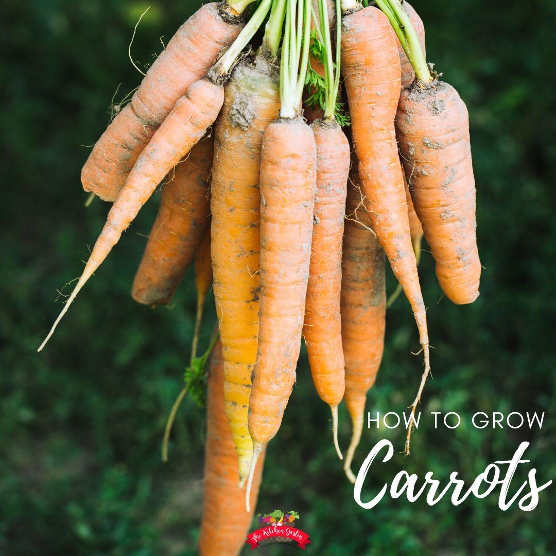 fresh picked orange carrots
