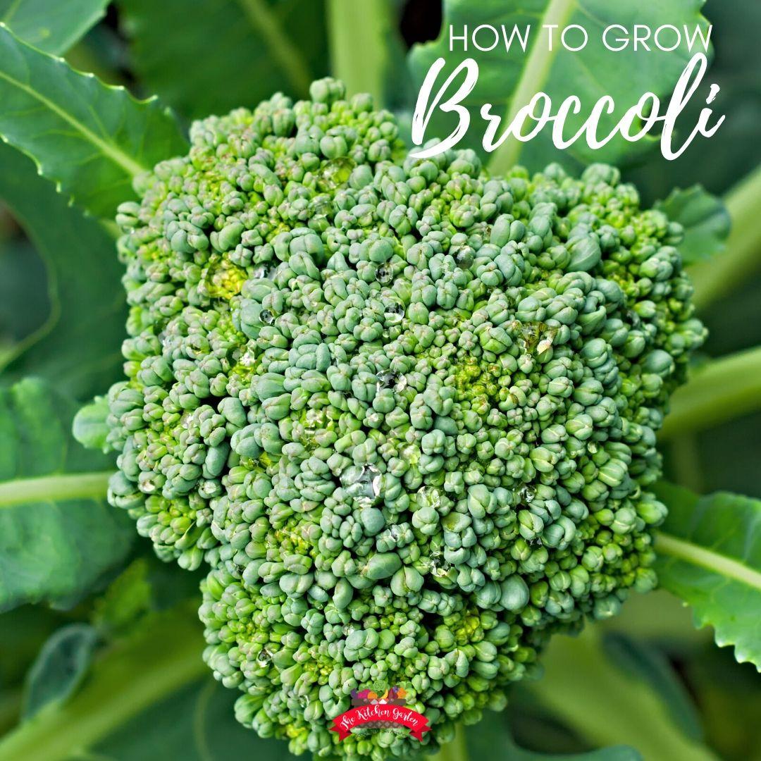 bright green broccoli head in garden