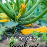 squash growing on plant