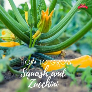 How to Grow Squash and Zucchini