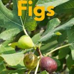 ripe figs on a green branch