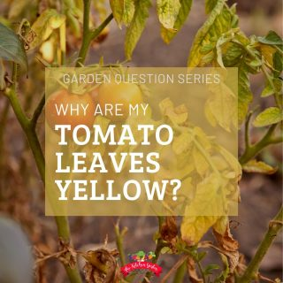 Reasons for Yellow Tomato Leaves