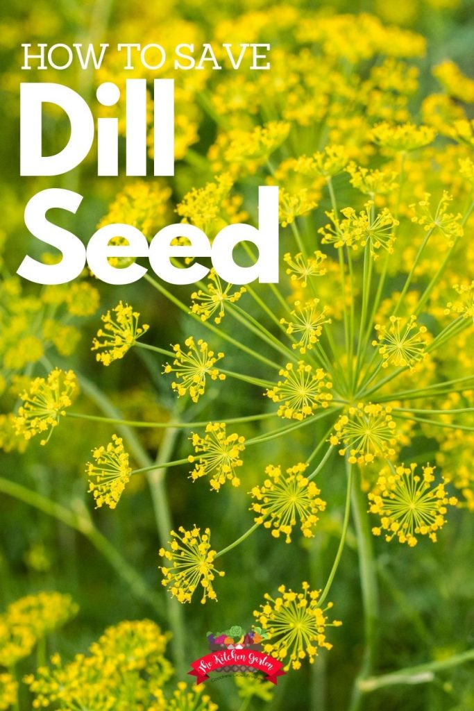 Yellow dill blooms on  green stems