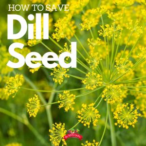 yellow dill blooms filled with seeds