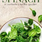 fresh picked spinach on a white plate