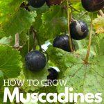 dark muscadines on a green vine