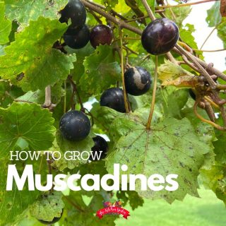 How to Plant, Grow, and Train Muscadine Grapes