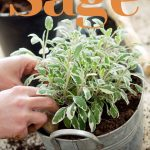 planting sage plant in a metal bucket