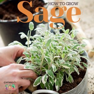 sage plant in a metal container