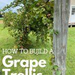 single grape trellis full of muscadine grapes