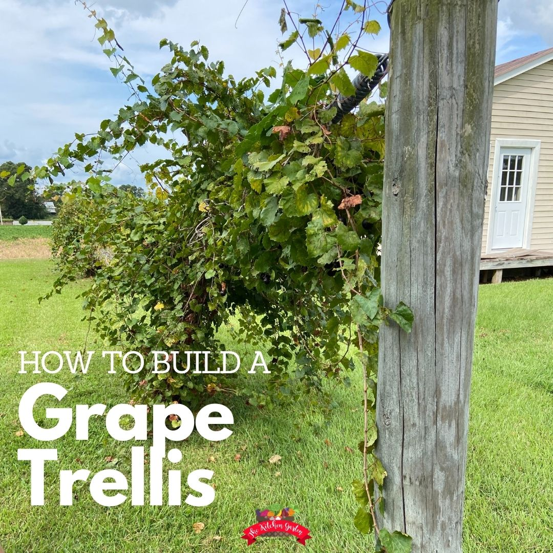 single grape trellis full of muscadine grapes