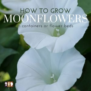 moonflower blooms opened up
