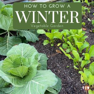 cabbage and radishes growing in a winter vegetable garden